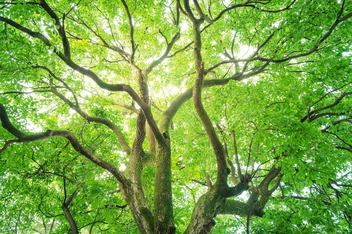 big camphor tree with many branches and green